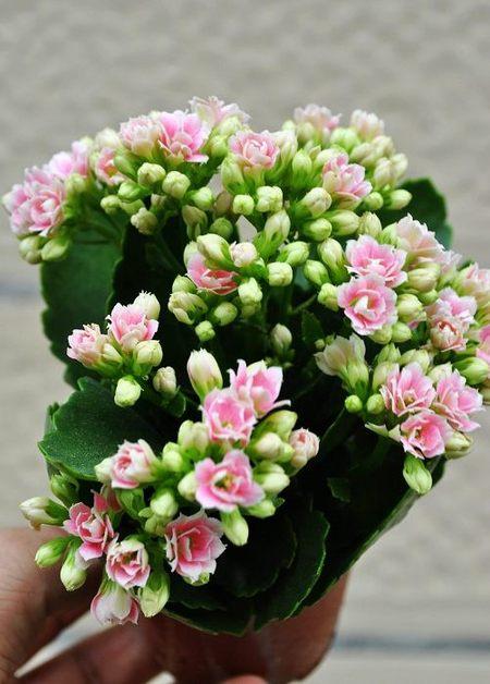 春天的开花植物—长寿花图片